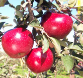 Stayman Apples at Hill Creek Farms