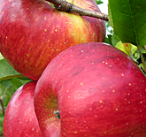 Crimson Topaz Apples at Hill Creek Farms