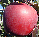 Enterprise Apples at Hill Creek Farms