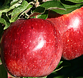 Autumn Rose Fuji Apples at Hill Creek Farms