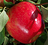 Honey Crisp Apples at Hill Creek Farms