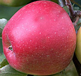 Jonagold Apples at Hill Creek Farms