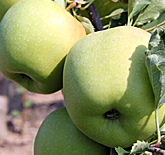 Mutsu Apples at Hill Creek Farms