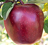 Red Delicious Apples at Hill Creek Farms